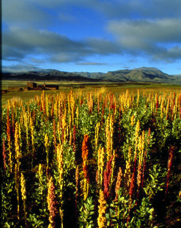 quinoa-cultivation