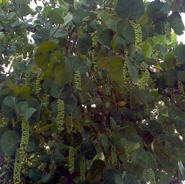 clusters of green sea grapes