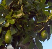 avocado on tree
