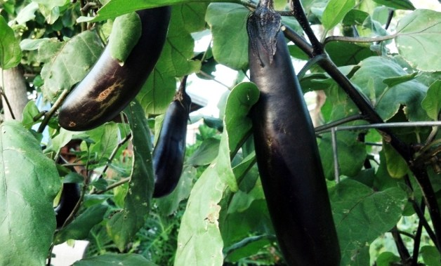 eggplant on vine